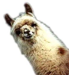 Picture of a cute llama